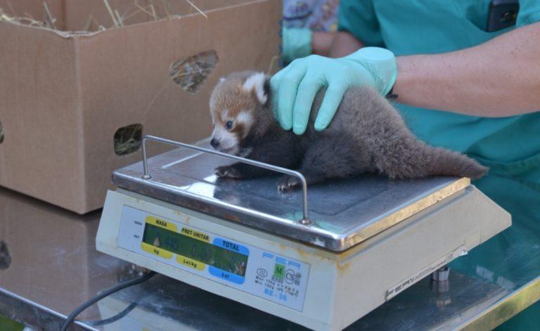 pui-panda-rosu-nascut-brasov